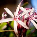 Spider lilies at Portofino Beach Resort
