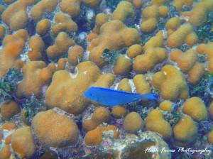 Blue Tang, Portofino Belize